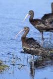 Glanzende ibis, plegadisfalcinellus Royalty-vrije Stock Fotografie
