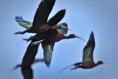 Glanzende Ibis tijdens de vlucht stock foto's