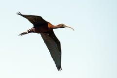 Glanzende Ibis tijdens de vlucht stock fotografie