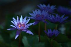Glanzende lotusbloem royalty-vrije stock afbeelding