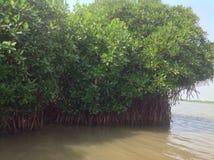 Glanzende, robuuste Mangrove stock afbeelding