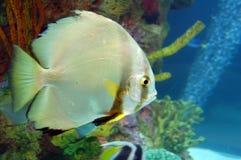 Glanzende Vissen die in Aquarium worden geïsoleerdi royalty-vrije stock afbeeldingen