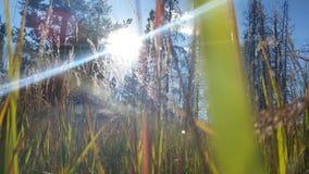 Glanzende Weide Stock Fotografie