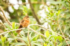 Glanzende zonnestraal die op boom rusten, Colombia, kolibrie zuigende nectar van bloesem, hoge hoogtedier in zijn exotisch milieu royalty-vrije stock foto's