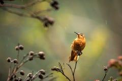 Glanzende zonnestraal die op boom rusten, Colombia, kolibrie zuigende nectar van bloesem, hoge hoogtedier in zijn exotisch milieu stock foto's