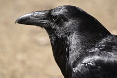 Glanzende zwarte raaf stock fotografie