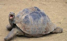 Glapagos-Schildkröte Stockfotografie