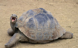 Glapagos sköldpadda arkivbild