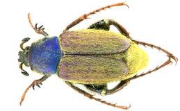 Glaphyrus varians - κολεόπτερα/Glaphyridae στοκ εικόνα
