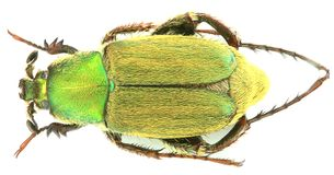 Glaphyrus varians - κολεόπτερα/Glaphyridae στοκ εικόνες με δικαίωμα ελεύθερης χρήσης