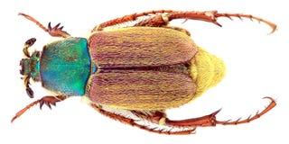Glaphyrus varians Coleoptera, Glaphyridae -/ zdjęcia stock