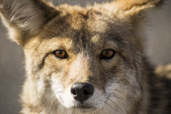 The Glare of a Coyote. The Stare of a coyote in the wild Royalty Free Stock Images
