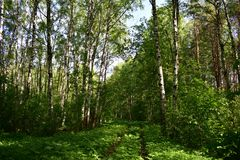 The glare of the sun on the trunks of birches in a shady forest light, cheerful, the grass underfoot in it is soft, clean. Road in birch forest royalty free stock photos