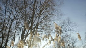 The glare of the winter sun through the branches with leaves. Branches of trees on a background of blue sky winter.Full hd video stock footage