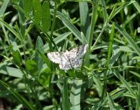 Glarearia de Heliomata de papillon Image stock