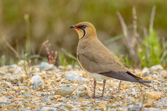 Glareola pratincola - Collared pratincole Royalty Free Stock Photography