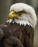 Glaring Eagle. Portrait of a Bald Eagle looking angry and fierce stock photo