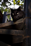 Glaring eyes. Black cat watching intently Stock Image