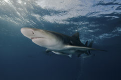 Glaring lemon shark Royalty Free Stock Images