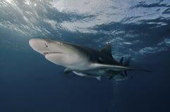 Glaring lemon shark. A close up on a lemon shark swimming near the surface, Bahamas Royalty Free Stock Images