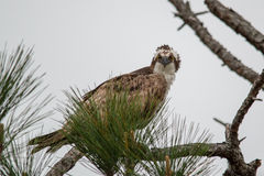 Glaring osprey. Perched in a pine tree royalty free stock photos