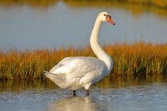 The glaring White Swan. The White Swan was standing on the marshland with a glaring starve as he surveys his surroundings. The Swan is a frequent visitor on the stock photos