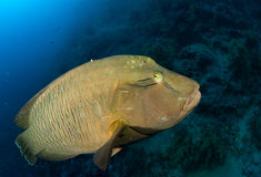 Glaring wrasse Royalty Free Stock Photo