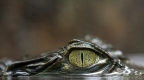 Glasögonprydd kajman Royaltyfri Fotografi