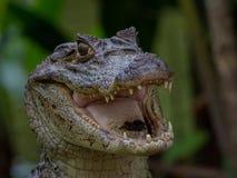 Glasögonprydd kajman - kajmanCrocodilia royaltyfri bild