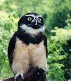 Glasögonprydd uggla i den Toronto zoo Arkivfoto