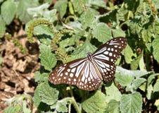Glas- tigerfjäril på buskar arkivbild