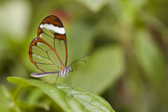 The Glas Wing Butterfly Royalty Free Stock Photography