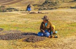 Glasera att torka potatisar vid Quechua infött, Peru royaltyfria bilder