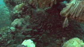 Glasfische im Roten Meer stock video footage