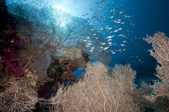 Glasfish, seafan and ocean. Taken in the Red Sea Stock Images