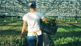 Glashausarbeitskraft, die nahe den wachsenden Tulpen, einen Korb mit Blumen halten geht stock video footage