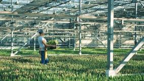 Glashausarbeitskraft hält einen Korb mit Tulpen beim Gehen stock video