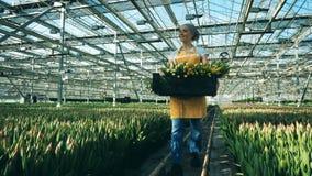 Glashausarbeitskraft hält schwarzen Korb mit den Tulpen und geht nahe wachsenden Blumen stock video