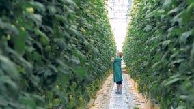 Glashausarbeitskraft steht in einem Durchgang und zerreißt weg von den Tomatensämlingen stock footage
