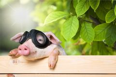 Cute piglet animal in aviator glasses hanging on a. Glass animal pig aviator piglet baby animal young animal Stock Images