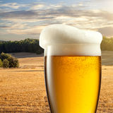 Glass of beer against wheat field Royalty Free Stock Image