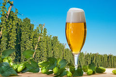 Glass of beer with hop field Royalty Free Stock Image