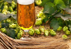 Glass of beer with hops and barley. Glass beer with barley and hop cones royalty free stock image
