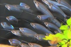 Glass catfish. (Kryptopterus bicirrhis) flocks Royalty Free Stock Image
