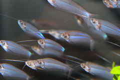 Glass catfish Royalty Free Stock Photography