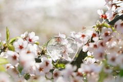 Glass clear heart in Spring with blossom Stock Image
