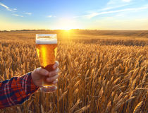 Glass of cold beer at sunset on the background of wheat field and blue sky. Summer landscape. Fresh brewed ale. Stock Photos