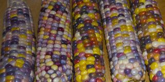 HEIRLOOM CORN COBS. Glass, corn variety is very colorful when freshly picked Royalty Free Stock Photography