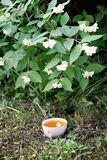 Glass cup of green tea with jasmine flowers in the summer garden with blooming jasmine bush. Glass cup of green tea with jasmine flowers in the summer garden royalty free stock images