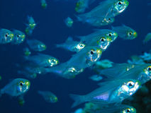 Glass fish. Small school of Glass fish Royalty Free Stock Photo